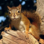 mount graham red squirrel 3